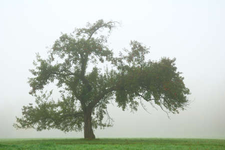 Lonely apple tree in white thick fog