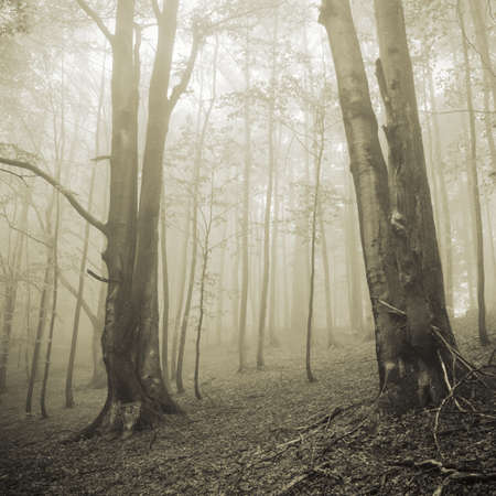 Two big trees and misty forest photo
