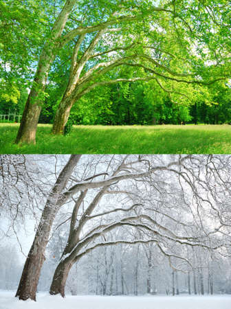 Two plane trees in two different seasons - Summer and Winter photo