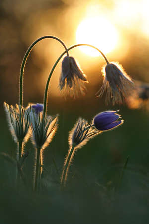 Pasque wild flower in setting sun evening light photo