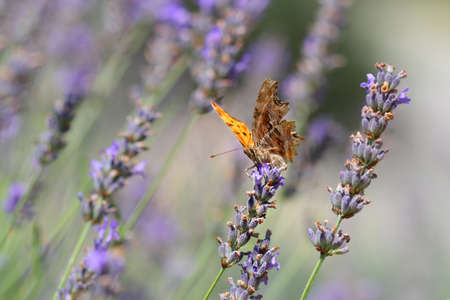 The Comma butterfly perching in a field of lavender in spring photo