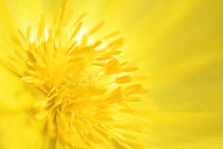 yellow stamens: Yellow pheasants eye flower abstract background