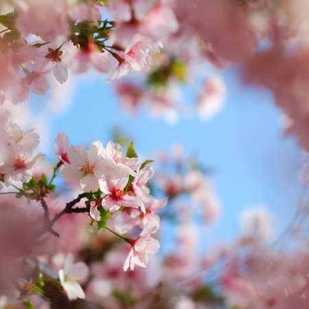 Pink tree blossoms blooming in colorful springtime photo