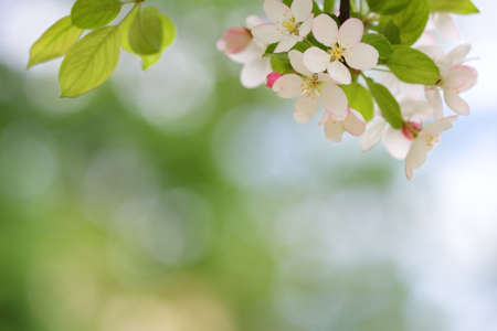 Blooming apple tree blossoms with smooth bokeh background Stock Photo