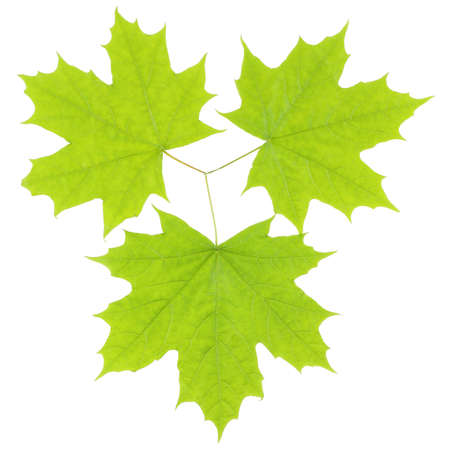 Three green maple leaves on  a white background Stock Photo
