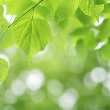 Light green linden tree and blurred bokeh background