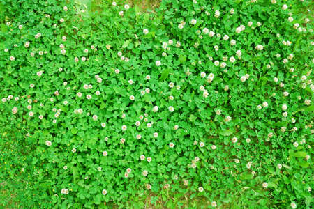 Closeup view of springtime green meadow with blooming clover photo