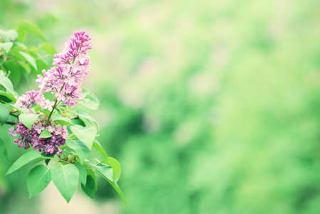 Purple lilac blossom blooming in springtime with green bokeh  photo
