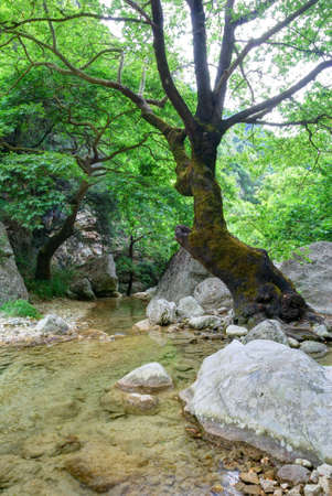 Old tree and crystal clear creek water photo
