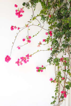 Bougainvillea flower red blossoms on a white wall Stock Photo