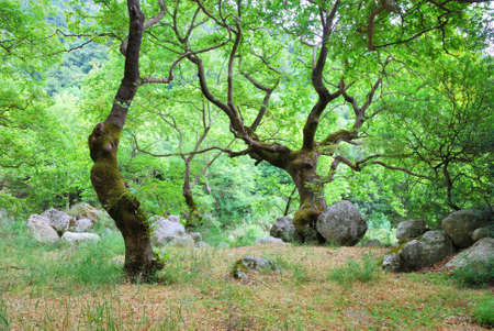 Green grove with old trees and big boulders Stock Photo