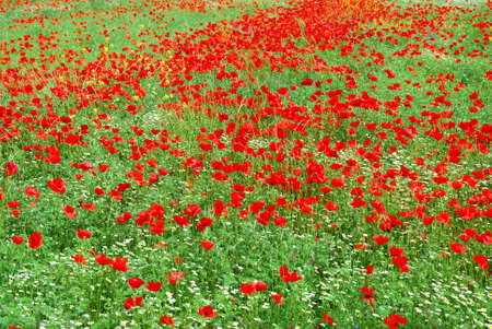 Red poppy field blooming in springtime Stock Photo