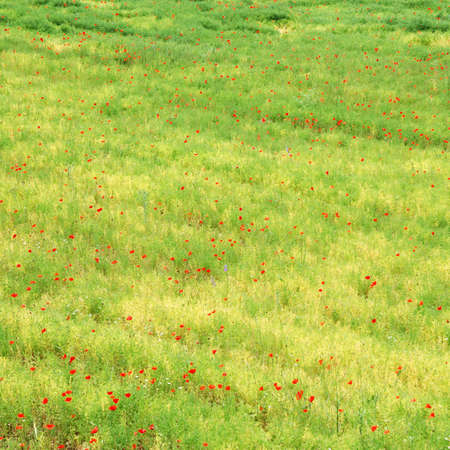 Abstract green field with corn poppy flowers photo