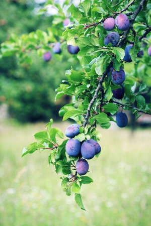 purple leaf plum: Plum tree branch with blue plum fruit