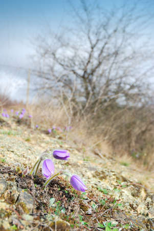 Wild pasque flowers in early spring photo