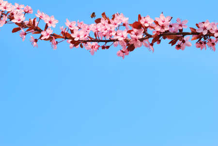 Sakura cherry tree branch with blossoms and blue sky background photo