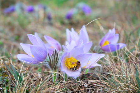 pollinator: Pasque flower with a honey bee in early spring