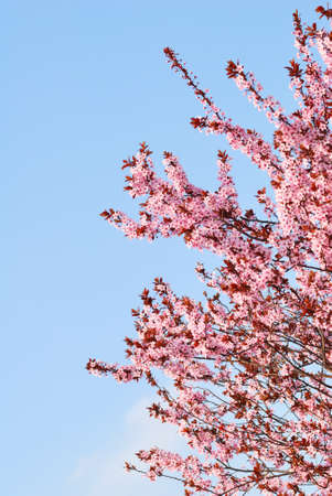 Sakura cherry tree with blossoms and blue sky background photo
