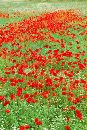 Red poppy flowers field blooming in springtime photo