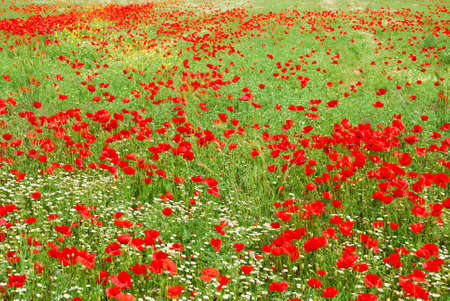 zillion: Red poppy flowers field blooming in springtime