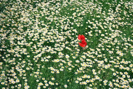 Corn poppy flower in the large field of daisies Stock Photo