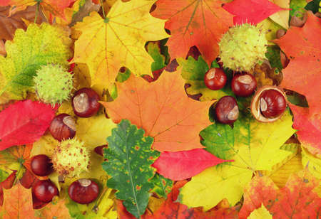 Colorful background made of fallen autumn leaves and chestnuts