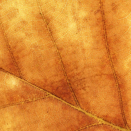 Detailed texture of a brown maple leaf photo
