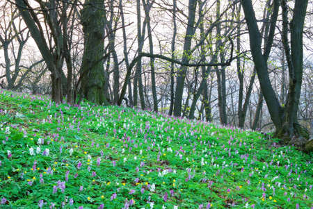 corydalis: Colorful carpet of flowers in an early spring forest Stock Photo