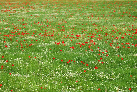 Red corn poppy and white daisy flowers field in spring Stock Photo