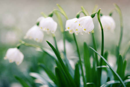 Early spring snowflake wild flowers in detail Stock Photo