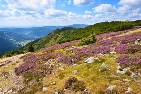 Purple heath blooming in the high mountains Stock Photo