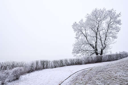 Single tree covered in rime and empty pale winter sky