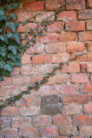Old weathered brick wall with green ivy runner Stock Photo