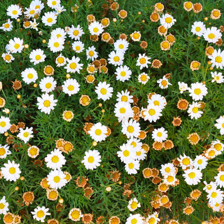 New daisy flower blossoms and old and withered daisy blossoms Stock Photo