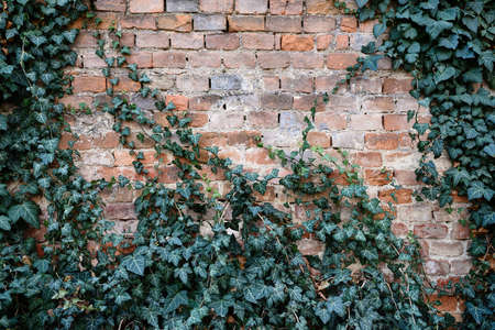Old brick wall covered with dark green ivy