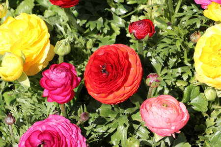 Red, pink and yellow ranunculus