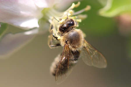 Bee at fruit tree blossom macro
