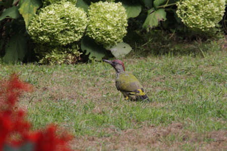 Green woodpecker foraging on the meadow in the background Hydrangeas Фото со стока