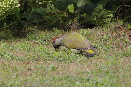 Green woodpecker foraging on the meadow
