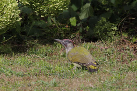 Green woodpecker foraging in the garden Фото со стока