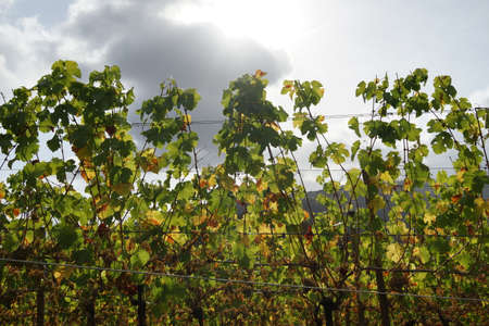 Grape vines against overcast sky