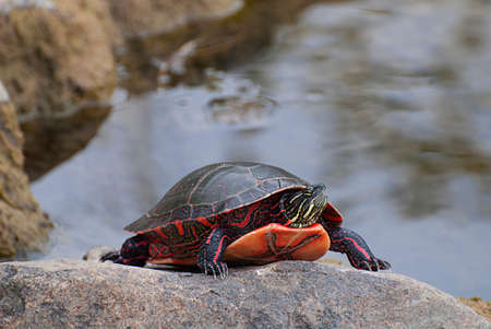 chordates: Painted turtle bask in the rock