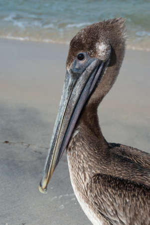the gulf: Brown pelican on Gulf of Mexico