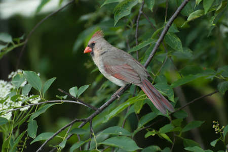 female cardinal: A female northern cardinal sitting on a tree branch Stock Photo