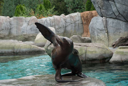 chordates: Sea Lion poses for the viewers Stock Photo