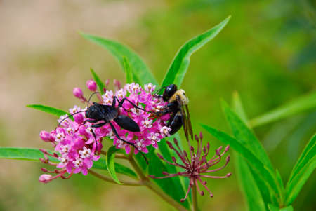 apocrita: The wasp eats but bee collects nectar on the flowers of valerian Stock Photo