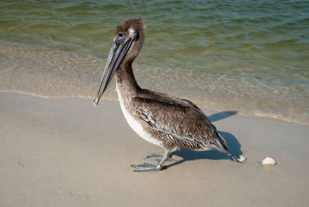 fisher animal: Brown pelican goes along the shore of the Gulf of Mexico, Florida, USA Stock Photo