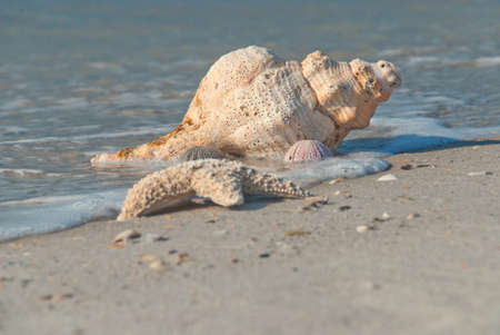 gastropoda: Sea shell on the bank of the Gulf of Mexico, Florida, USA