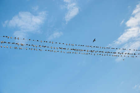 migration: A flock of swallows preparing for the autumn migration, Ukraine