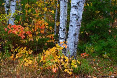 バーチの木、ワシントン島 (ウィスコンシン州) の背景に黄色とオレンジ色の紅葉 写真素材